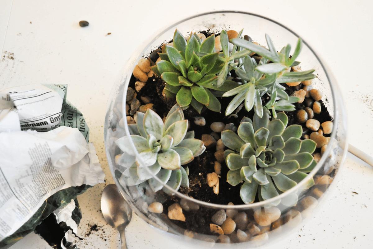 terrarium-succulentes