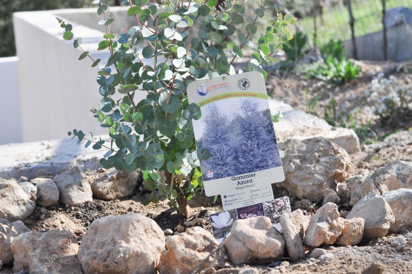 gommier-azura-eucalyptus-provence