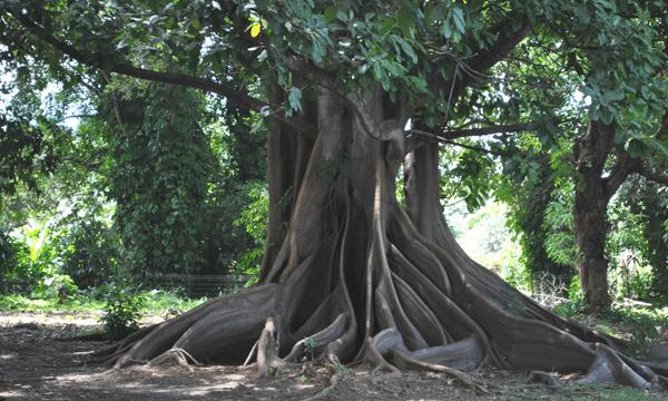 racine-arbre-gwada