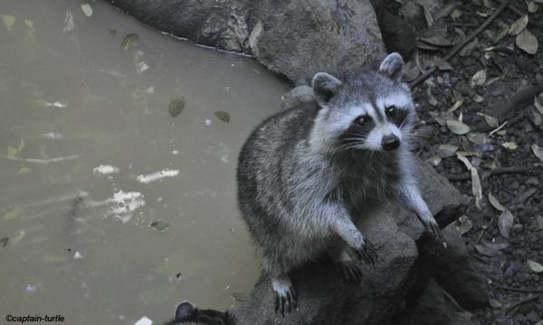 racoon-mamelles
