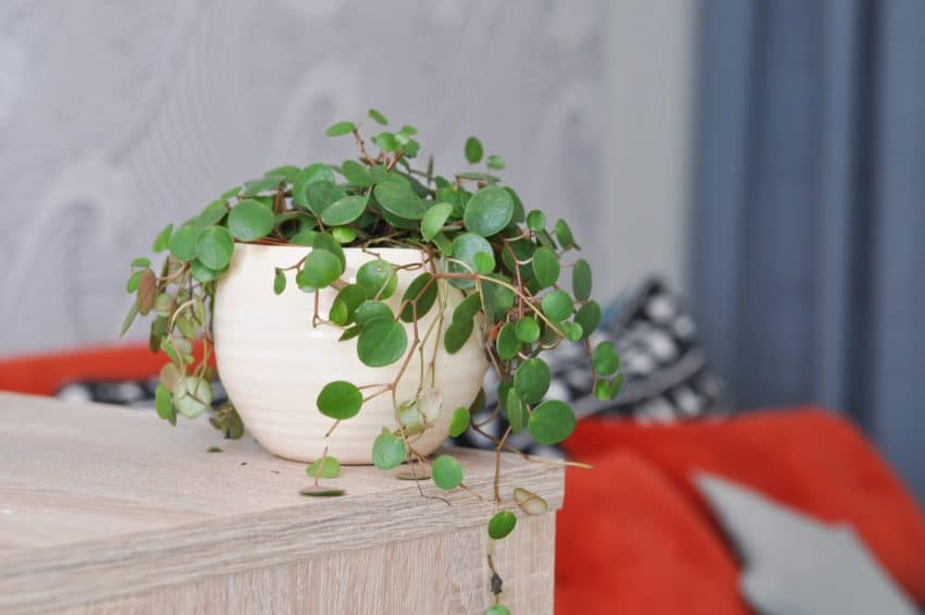 plante-grasse-pepercheplu